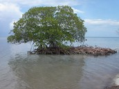 Definition of a Mangrove