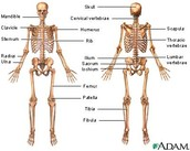 (Picture of Skeletal System)