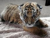 Baby South China Tiger
