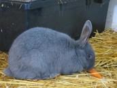 Blue Silver Fox Rabbit