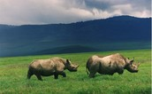 White Rhinos graze in the green grass in South America