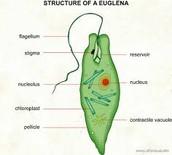 Parts of a Euglena