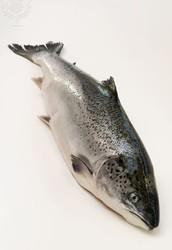 Salmon , Farming and Poluion