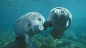 Two baby manatees