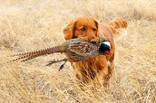 Goldens and Labs Both Hunt