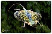 flying geco