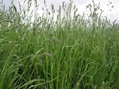 Orchard Grass Facts