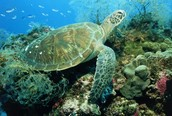 Green Turtle's Habitat!