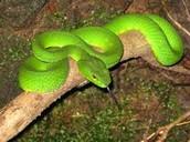 A Snake