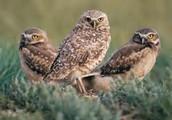 Owl saviors!