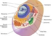Animalia Cells