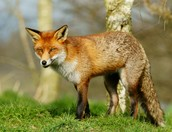 The Deciduous forest Fox