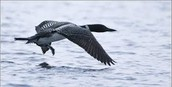 """The loon is a bird that symbolizes """"hopes""""."""