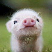 I LOVE PIGS TO
