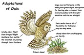 Adaptations of owls