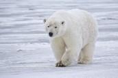 Polar bear in it's habitat