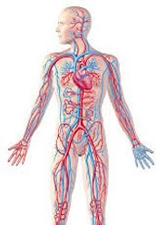 The Functions Of The Circulatory System