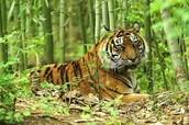 Sumatran Tiger: Critically Endangered