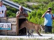 Endangered panther being released.