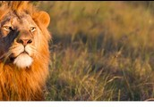 האריות