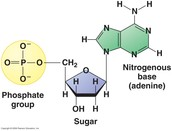 The Monomer of Nucleic Acid