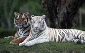White Tiger and Tiger