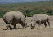 Rhino vs Rhino