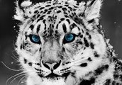About snow leopards