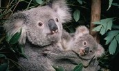 A koala and its mother