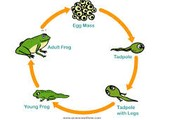 Growth And Development Of A Frog