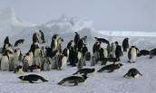 Penguins in habitat.