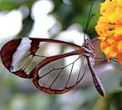 La mariposa transparente.