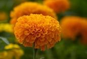 Flores de cempazúchil