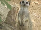 Description meerkat