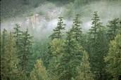 Restored Conifer Forest Tress
