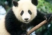 www.steel pandas.org