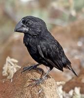 Large Beak
