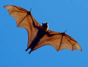 Case Study: Flying Foxes: Keystone Species in Tropical Forests