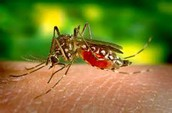 The mosquito that causes yellow fever- It is called a flavivirus