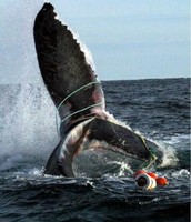 Humpback Whale Tale Fluke Entanglement