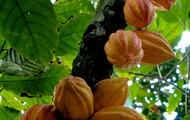 The cocoa tree