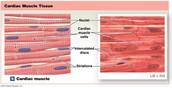 Cardiac Muscle Tissue