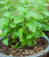 Dos and Don'ts of Growing Mint