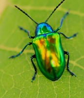 Dogbane Leaf Beetle