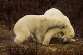 What Polar Bears Enjoy Doing