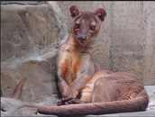 Young Adult Fossa 3
