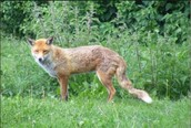 Will The Red Fox Be Extinct Soon  ?