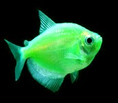 Electric Green GloFish