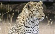 Here we see a leopard using it's superior hearing to locate prey.