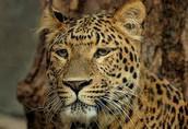 Korean Leopard